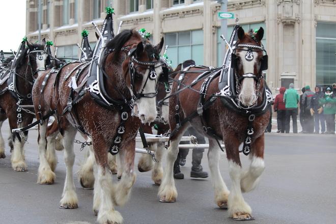 Parade Horses Regina, Saskatchewan Canada