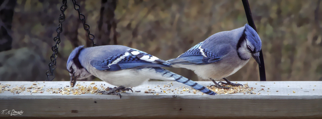 A Pair of Blue Jays Smiths Falls, Ontario Canada