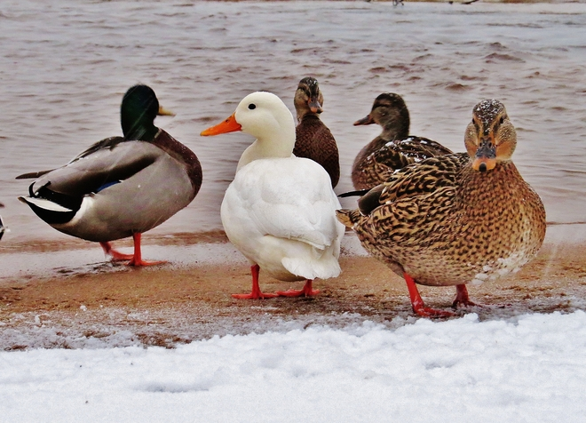 'Tough' northern ducks take on the weather. North Bay, Ontario Canada