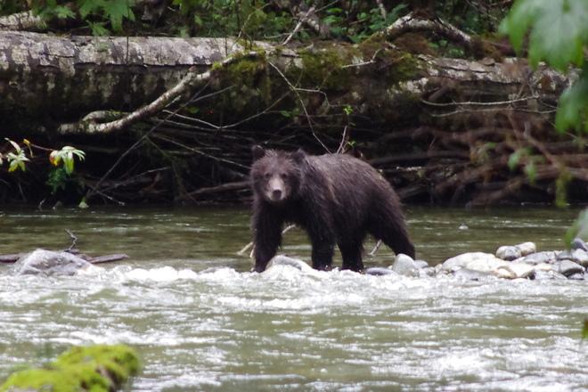 grizzli cub Campbell River, British Columbia Canada