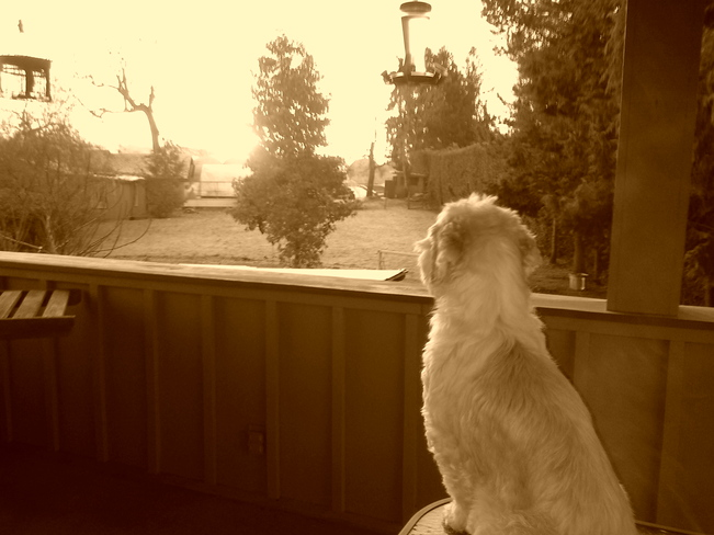 Nikko surveying the land. North Saanich, British Columbia Canada