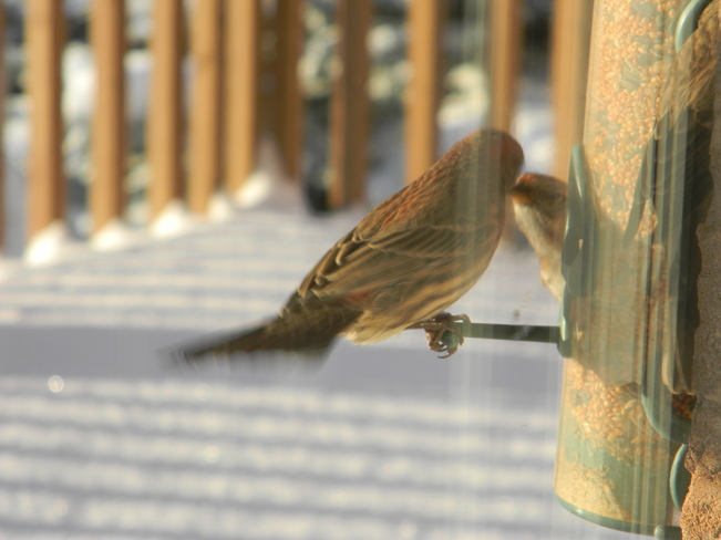 A couple of Manitoba Tree Sparrows have a kiss.