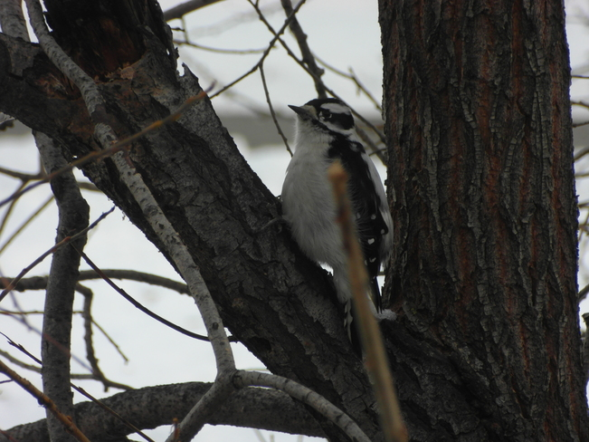 cool little black and white bird.Down by the creek at confederation park Calgary, Alberta Canada