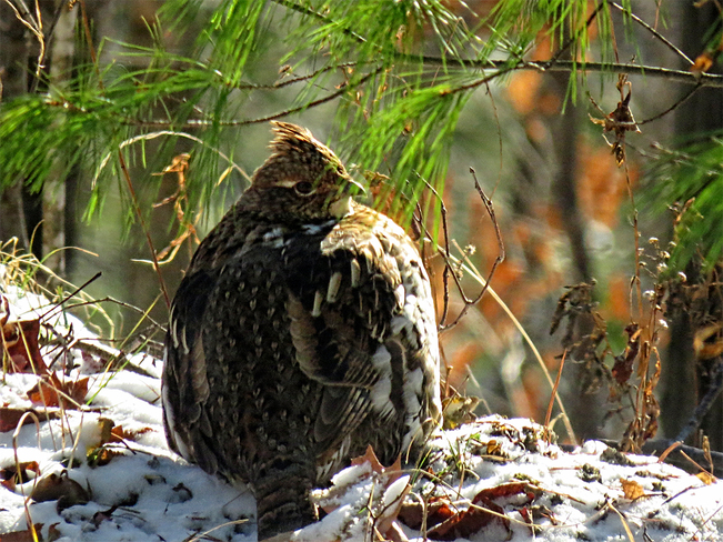 Brr Partridge Maberly, Ontario Canada