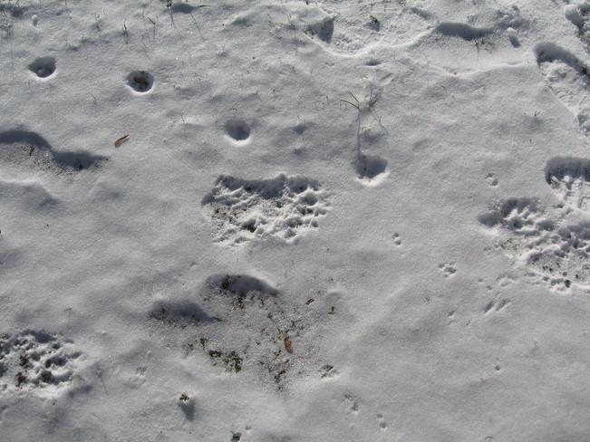 Black bear prints Blind River, Ontario Canada