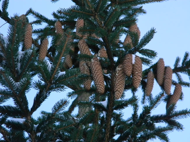 Great bunch of pine-cones ready for Christmas
