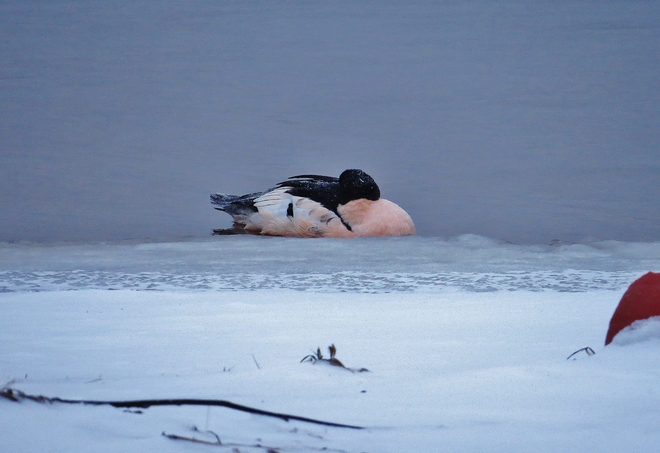 Male Common Merganser sleeps in icy water. North Bay, Ontario Canada