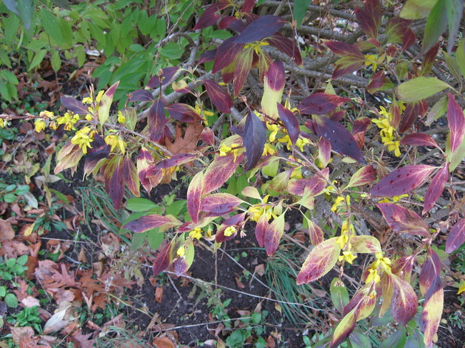 Forsythia blooming out of season Windsor, Nova Scotia Canada
