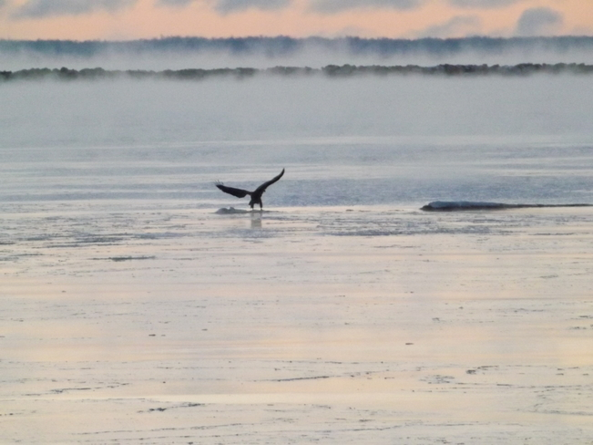 EAGLE LANDING IN THE MORNING MIST Thunder Bay, Ontario Canada