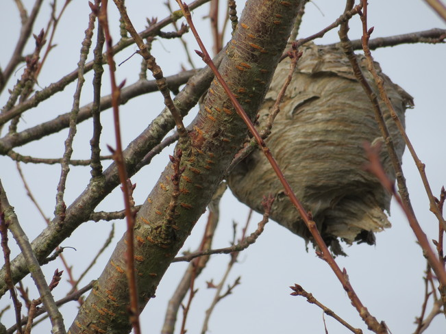 Huge wasp nest in a tree Surrey, British Columbia Canada