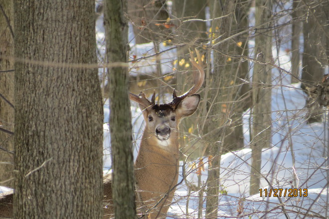 Handsome Buck in Pinafore Park St. Thomas, Ontario Canada