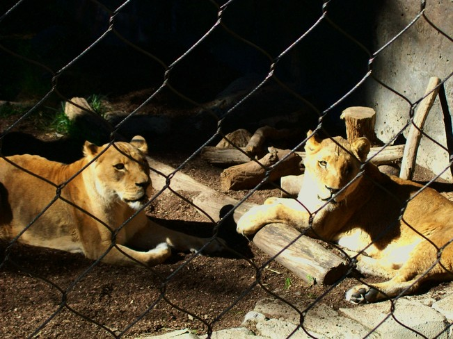 Rescued Lions San Diego, California United States