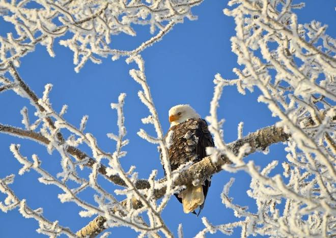 Frosty Eagle Golden, British Columbia Canada