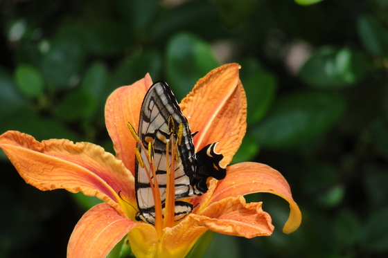 Butterfly on a tiger lily