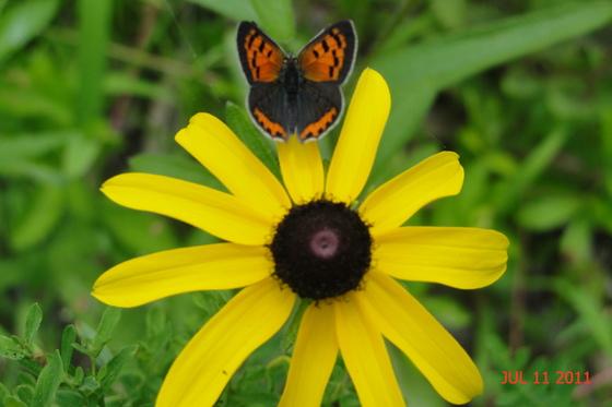 Butterfly on a blackeye susan