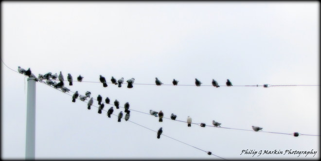 Birds On A Wire Nelson, British Columbia Canada