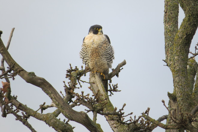 Peregrine Falcon Delta, British Columbia Canada