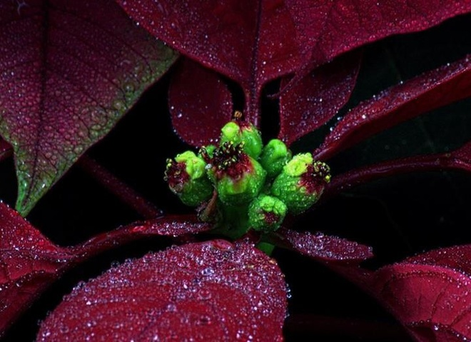 close up at a Xmas bloom Pierrefonds, Quebec Canada
