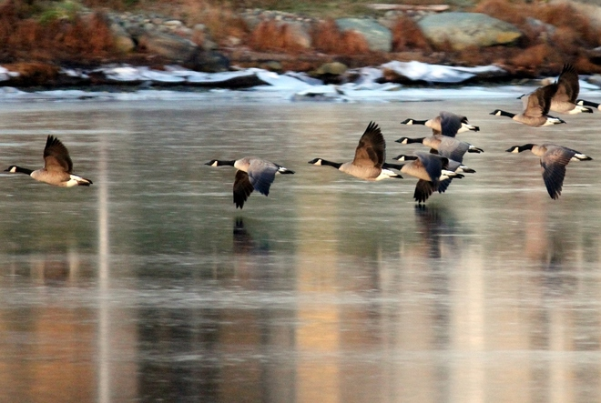Canadian geese Colwood, British Columbia Canada