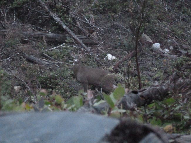 Blacktail Deer Mesachie Lake, British Columbia Canada