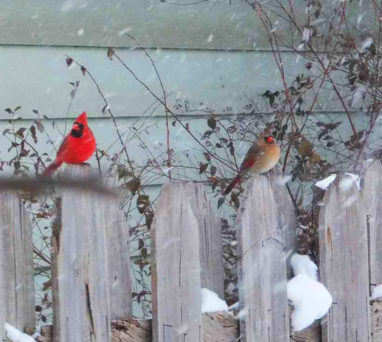 Mr. and Mrs. Cardinal London, Ontario Canada
