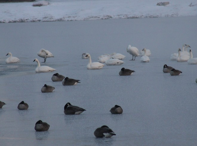 Tundra Swans and Canadian Geese Tillsonburg, Ontario Canada