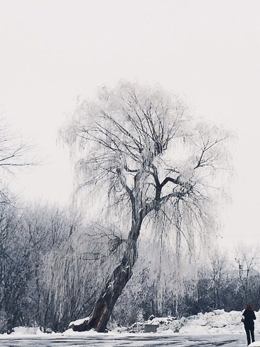 Weeping Willow in winter Pointe-Claire, Quebec Canada