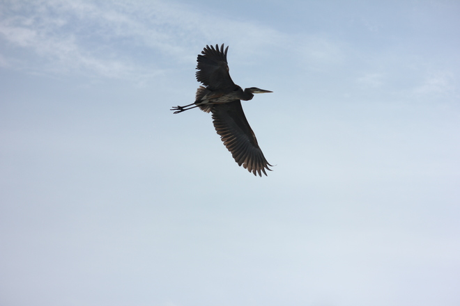 Heron in flight St. Thomas, Ontario Canada