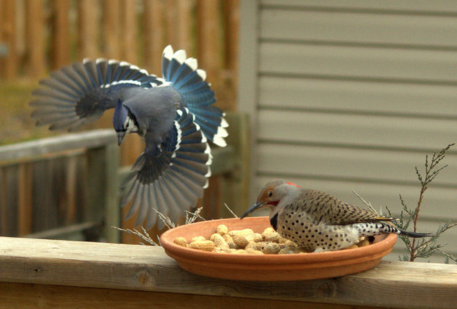 Blue jay vs northern flicker Lacombe, Alberta Canada