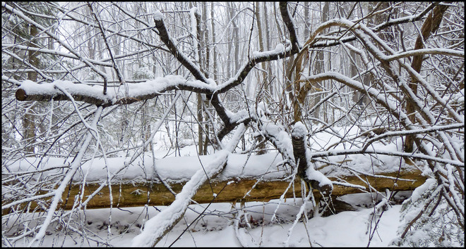 Sheriff Creek red trail, snow covered branches. Elliot Lake, Ontario Canada