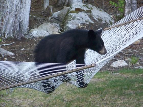 bear cub on my hammock   munity   bear cub on my hammock   rh   ulocal wmur