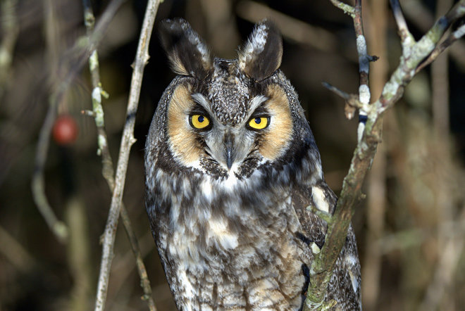Long-eared Owl @ BB Delta, British Columbia Canada