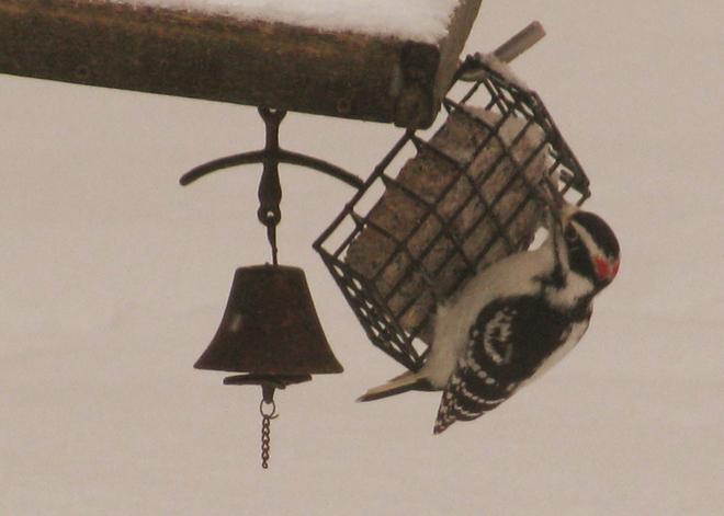 Hairy Woodpecker.. Pembroke, Ontario Canada
