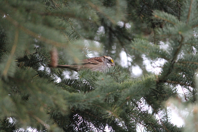 White-Throated Sparrow Newmarket, Ontario Canada