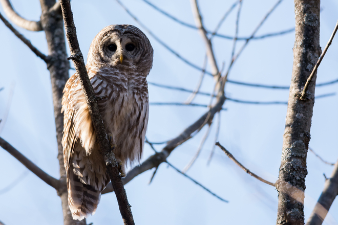 Barred Owl watches Juvenile Northern Goshawk Kingston, Ontario Canada