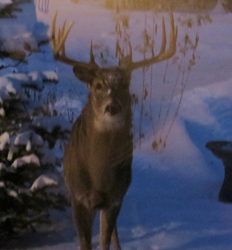 Large buck Winnipeg, Manitoba Canada
