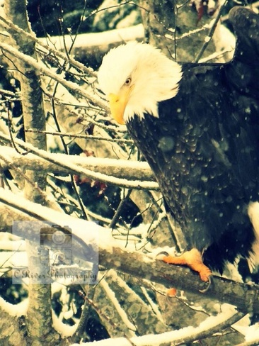 eagle in snow Campbell River, British Columbia Canada