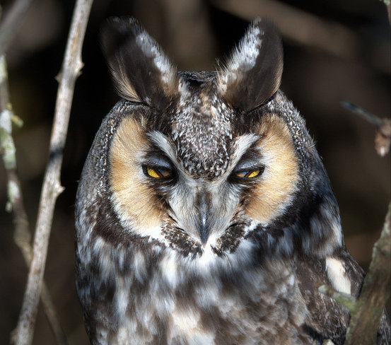 Long-eared Owl's Protective Eye Shield Delta, British Columbia Canada