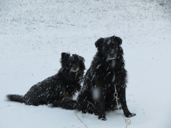 Snow Dogs. Hope Town, Quebec Canada