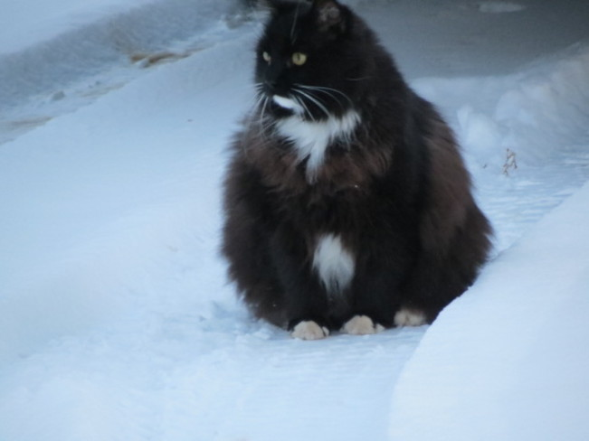 Cat out in the snow. Hope Town, Quebec Canada