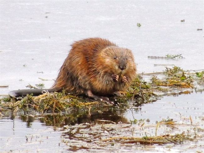 What Lake Dwelling Beavers Eat. Port Perry, Ontario Canada