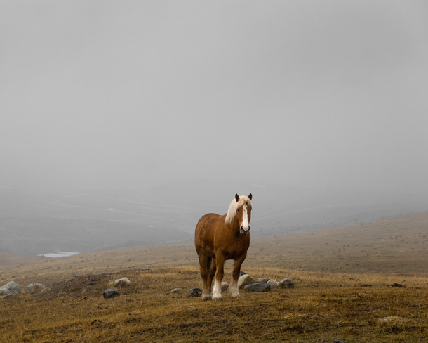 Heavy Horse in Morning Mist