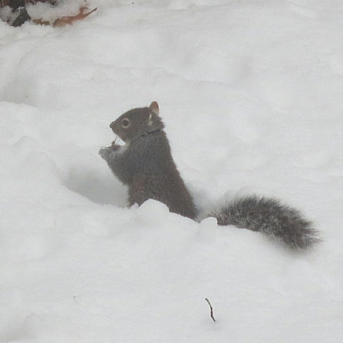 Squirrel in snow Nepean, Ontario Canada