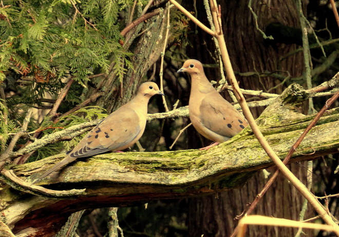 Mourning Doves Hastings, Ontario Canada
