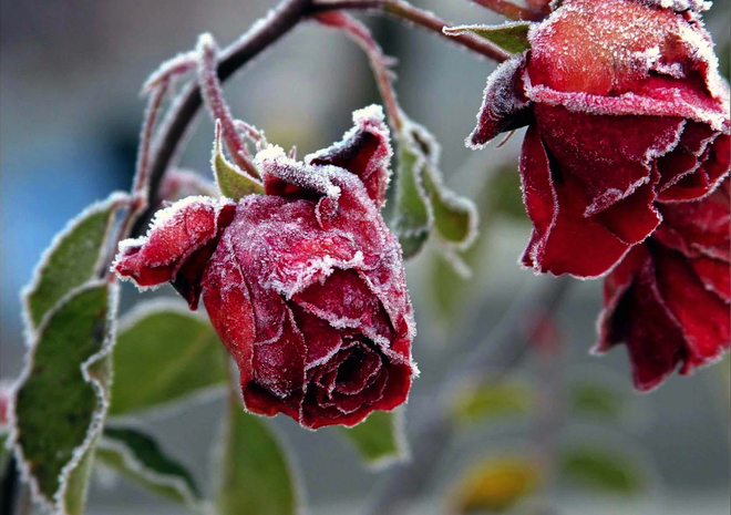 Frosty Roses Surrey, British Columbia Canada