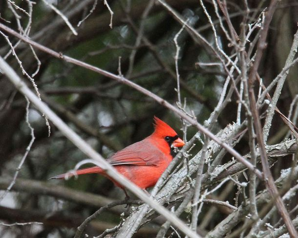 Male Cardinal brightens a dreary day. Brighton, Ontario Canada
