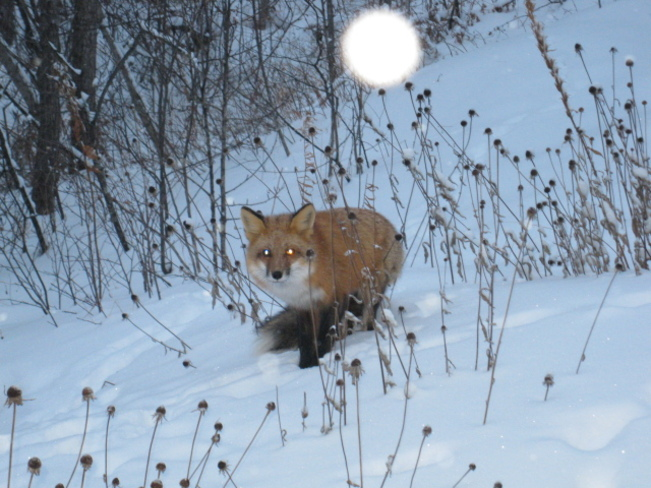 fox in the yard this morning Chapleau, Ontario Canada