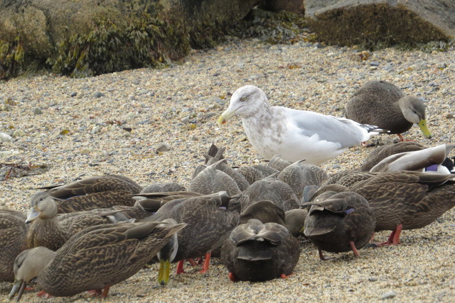 Gully the Herring Gull is Out Numbered :) Chester, Nova Scotia Canada