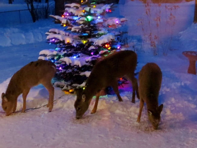 Deer and xmas tree Winnipeg, Manitoba Canada