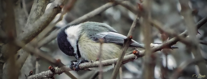Chickadee pecking at the Prickly Ash Bud Smiths Falls, Ontario Canada